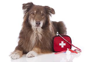Australian shepherd dog with first aid kit isolated