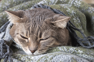 portrait home tabby gray cat resting in a blanket