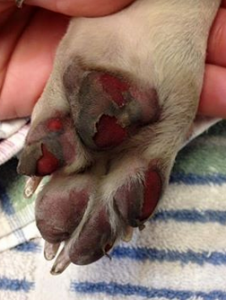 Burned Paw for Expert July 2016